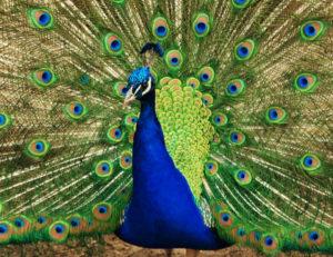 peacock_tail